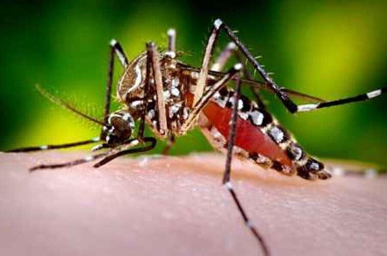 Aedes_aegypti.jpg